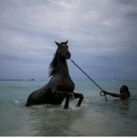 2 DEC: A handler baths a horse, from the Garrison Savannah, in the Caribbean Sea near Bridgetown, Barbados. Barbados is celebrating 50 years of full independence from Britain. The east Caribbean island was once dominated by a hugely profitable sugar industry that exploited African slaves - whose descendants now make up the large majority of the population - and European indentured labour. PHOTO: Adrees Latif- REUTERS BBCSnapshot photography photojournalism horse Barbados Caribbean sea: 2 DEC: A handler baths a horse, from the Garrison Savannah, in the Caribbean Sea near Bridgetown, Barbados. Barbados is celebrating 50 years of full independence from Britain. The east Caribbean island was once dominated by a hugely profitable sugar industry that exploited African slaves - whose descendants now make up the large majority of the population - and European indentured labour. PHOTO: Adrees Latif- REUTERS BBCSnapshot photography photojournalism horse Barbados Caribbean sea