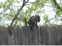 """""""2 of my dogs turned up dead within the last week. Today, the last pup I have left was squealing so loud. I went outside to find her on the ground bleeding... Then I saw this thing scurrying down the fence. Is it the Jersey Devil or Chupacabra? Help."""": """"2 of my dogs turned up dead within the last week. Today, the last pup I have left was squealing so loud. I went outside to find her on the ground bleeding... Then I saw this thing scurrying down the fence. Is it the Jersey Devil or Chupacabra? Help."""""""