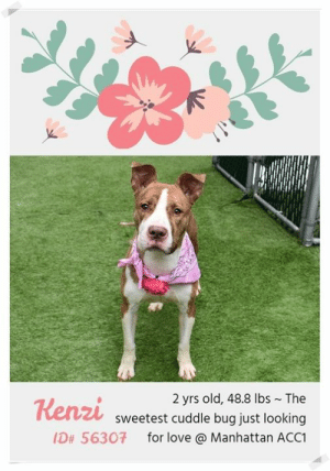 """Click, Dogs, and Love: 2 yrs old, 48.8 lbs The  sweetest cuddle bug just looking  ID# 56307 for love @ Manhattan ACC1  Kenzi **** 10 PRECIOUS LIVES HANG IN THE BALANCE **** Please share them now and widely, or foster or adopt yourself. For complete information on any of the pups you are interested in, click on their individual poster in this TBK folder. The killing starts early afternoon, March 21ST, 2019  HOW TO RESERVE A """"TO BE KILLED"""" DOG ONLINE (only for those who can get to the shelter IN PERSON to complete the adoption process within 48 hours of reserve, and only for the dogs on the list NOT rated New Hope Rescue Only*). Follow our Step by Step directions below!  PLEASE NOTE – YOU MUST USE A PC OR TABLET – PHONE RESERVES WILL NOT WORK! *  STEP 1: CLICK ON THIS RESERVE LINK: https://newhope.shelterbuddy.com/Animal/List  Step 2: Go to the red menu button on the top right corner, click register and fill in your info.  Step 3: Go to your email and verify account  Step 4: Go back to the website, click the menu button and view available dogs. It should read, """"reserve in progress"""". That is YOUR reserve.  Step 5: Scroll to the animal you are interested and click reserve  STEP 6 ( MOST IMPORTANT STEP ): GO TO THE MENU AGAIN AND VIEW YOUR CART. THE ANIMAL SHOULD NOW BE IN YOUR CART!  Step 7: Fill in your credit card info and complete transaction Animal Care Centers of NYC (ACC) nycacc.org  *** If a dog is Rescue Only, or you cannot get to the shelter in person, you must PM our page for assistance w/fostering or adopting. MESSAGE our page or email us at MustLoveDogsNYC@gmail.com for"""