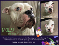"""Being Alone, Bones, and Cats: 2 yrs old, 53,2 lbs  MOLL  ID# 44804  The cutest marshmallow-sweetheart. Friendly, wiggly, curious and joyfully  playful. Happy to be on the lap, to give hugs and to make new friends.  WaiTing on LOVGManhaTTan ACC TO BE KILLED - 10/23/2018  Wiggly, Playful and Cuddly Sweetheart - Molly loves her friends <3  A Volunteer Writes: """"HELLO MARSHMALLOW! This sturdy Gal is a Sweetheart! Omg! She looks like she could care less and would be very lumbering but she was raring to go out! What a wiggle bottom! She was very good about having the leash put over her head...always a good sign! She gave no #%£&$ about all the doggie raucous goin' on as she strutted past the other kennels. We grabbed a couple of toys & went out to the backyard playpen...And Bang! Momma was Set to Rumble! No shrinking violet this! She is Very playful and full of controlled energy! She never got over excited, but she never stopped moving either. She was so curious about everything in her environment! Smells, chase the ball, make a pee, chase the ball, get a hug, ooo...make a poops, hey what's that puppy doing in the next playpen?, more hugs?! Yes Please! And those eyes?! Mesmerizing! One Hazel, one Blue. Yes! I Love Marshmallows!!!  VIDEO: Molly loves her friends https://youtu.be/Rc4h9OUqFss  Molly ID# 44804 Manhattan Animal Care Center 2 yrs old, 53.2 lbs White / Gray Female Large Mixed Breed Cross Intake Date: 10-17-2018 I came into the shelter as a owner surrender on 17-Oct-2018, with the surrender reason stated as animal circumstance - abandoned by previous owner.  Behavior History  Upon intake, Molly at first had a loose, wiggly body and allowed all handling. When the owner left, she began to hard bark and lunge at the door. She turned to Cleatus and they snapped at each other. They were easily separated and did not try to engage with each other again. She pulled very hard on the leash.  Date of Intake: 10/17/2018  Basic Information:: Molly is a two year old large mixed"""