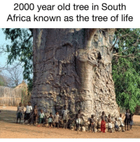 Tree of Life, South Africa. theblaquelioness: 2000 year old tree in South  Africa known as the tree of life Tree of Life, South Africa. theblaquelioness