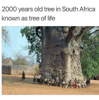 2000 years old tree in South Africa known as the Tree of Life. 🌳☀️🌏 @dilutethepower theblaquelioness: 2000 years old tree in South Africa  known as tree of life 2000 years old tree in South Africa known as the Tree of Life. 🌳☀️🌏 @dilutethepower theblaquelioness