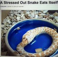Sneks: A Stressed out snake Eats Itself  NBIOLOGY ON MAY 18, 2014 AT 10:00AM/
