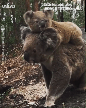 This little koala joey loves a piggy back from his mum! 🐨😍: 2019  This baby koala istaking  aride on its mum's back| AUG  UNILAD  BRITTANY DIXON VIA STORYFUL This little koala joey loves a piggy back from his mum! 🐨😍
