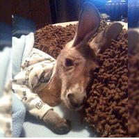 Just a baby kangaroo in his pajamas: 20M Just a baby kangaroo in his pajamas