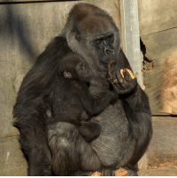 Memes, Photography, and Bristol: 21 DEC: A hand-reared baby gorilla which was born 10 months ago has moved in with a surrogate mother. Afia, a Western lowland gorilla, was left fighting for her life after being born by emergency caesarean and had to be cared for by Bristol Zoo staff. Her reintroduction to the gorillas began in October when Afia started bonding with her surrogate mother Romina. Her birth mother Kera was too ill to look after Afia, the zoo said. PHOTO: Bristol Zoo-PA BBCSnapshot photography gorilla baby zoo Bristol