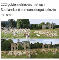 Love, Memes, and Smh: 222 golden retrievers met up in  Scotland and someone forgot to invite  me smh. i love doggos