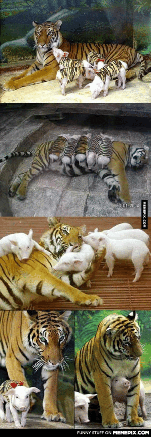 A tiger was devastated after she lost her cubs, so the zookeepers improvised…omg-humor.tumblr.com: 23 01 2004  FUNNY STUFF ON MEMEPIX.COM  MEMEPIX.COM A tiger was devastated after she lost her cubs, so the zookeepers improvised…omg-humor.tumblr.com