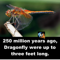 dragonfly: 250 million years ago,  Dragonfly were up to  three feet long.