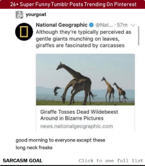 Click, Funny, and Lol: 26+ Super Funny Tumblr Posts Trending On Pinterest  yourgoat  National Geographic@Nat... .57m  Although they're typically perceived as  gentle giants munching on leaves,  giraffes are fascinated by carcasses  Giraffe Tosses Dead Wildebeest  Around in Bizarre Pictures  news.nationalgeographic.com  good morning to everyone except these  long neck freaks  SARCASM GOAL  Click to see full list 26+ Super Funny Tumblr Posts Trending On Pinterest #funny #memes #lol #rofl #haha #humor #tumblr