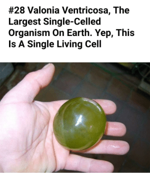 Forbidden Grape:  #28 Valonia Ventricosa, The  Largest Single-Celled  Organism On Earth. Yep, This  Is A Single Living Cell Forbidden Grape