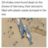 Mildly sure this is fake but even so, its important. This could be a reality if we dont shape up. if this actually happens i hope the entire human race is eradicated -papa: 29 whales were found dead on the  shores of Germany, their stomachs  filled with plastic waste dumped in the  sea. Mildly sure this is fake but even so, its important. This could be a reality if we dont shape up. if this actually happens i hope the entire human race is eradicated -papa