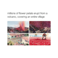 Covers, Flower, and Flowers: millions of flower petals erupt from a  volcano, covering an entire village 🌻@DICTIONARYOFBOYS🌻