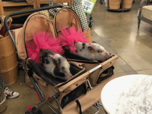 Two little piggies in a stroller wearing pink tutu's. Spotted while shopping.: 2'x 3'  CHINDI  RUGS  $14  99  14 Two little piggies in a stroller wearing pink tutu's. Spotted while shopping.