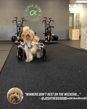 "What's your excuse? 👊🏻🐶: 3  Cx  -1  ""WINNERS DON'T REST ON THE WEEKEND...  @JOSHTHEDO0DlEjoshthedoodle What's your excuse? 👊🏻🐶"