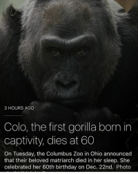 If we get another fucking gorilla meme im going to delete my page: 3 HOURS AGO  Colo, the first gorilla born in  captivity, dies at 60  On Tuesday, the Columbus Zoo in Ohio announced  that their beloved matriarch died in her sleep. She  celebrated her 60th birthday on Dec. 22nd. Photo If we get another fucking gorilla meme im going to delete my page