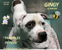 "7/11, Cats, and Children: 3 yrs old  92.4 lbs  GINGY  ID #46393  TREMBLES  IN FEAR""  Brooklyn Animal Care Center TO BE KILLED 11/13/18  Gingy trembles in fear...terrified... But then who wouldn't be? Poor Gingy was found abandoned outside in a crate, only to be put in a noisy and very scary place and he just doesn't understand. But he does understand that its not good. In fact, it's deadly. Gingy is ok with other dogs, craves love and attention and most importantly - safety. But because this handsome boy is terrified and trembling in fear he has been added to the euth list, slated to die very soon if a hero doesn't step up. Please read Gingy's notes and consider opening your heart and home to save this misunderstood...mistreated...and most likely abused pooch. He needs a miracle and you are all he has. Please, we can't let this strange and scary place be Gingy's last memory.   Gingy@Brooklyn ACC Hello, my name is Gingy. My animal id is #46393. I am a male white dog at the Brooklyn Animal Care Center. The shelter thinks I am about 3 years old.  I came into the shelter as a agency on 03-Nov-2018.  Sorry, this pet is for new hope partners only.  Gingy is at risk for behavioral concerns. He has shown some fearful behavior while at the care center. He is difficult to remove from the kennel, growling at the leash. He appears to be uncomfortable or afraid of the slip lead. He has also allowed minimal handling from his caretakers. There are no medical concerns at this time.  *This account is not monitored. If you would like to reserve an animal that is available for public adoption, please follow the instructions on https://newhope.shelterbuddy.com/Animal/List. If an animal is listed as New Hope only, please contact an ACC New Hope partner that is accepting foster/aadoption applications: http://www.nycacc.org/get-involved/new-hope/nhpartners *  My medical notes are... Weight: 92.4 lbs  Vet Notes 7/11/2018  [DVM Intake] DVM Intake Exam  Estimated age:3y Microchip noted on Intake?n Microchip Number (If Applicable):  History :stray  Subjective:was bleeding from rear leg when brought in : no evidence of bite wounds. scabs on legs are pyoderma related  Observed Behavior -shaking, whale eyed, muzzled as precaution  Evidence of Cruelty seen -n  Evidence of Trauma seen -n  Objective   T = P =60 R =wnl BCS 5/9  EENT: Eyes clear, au crusty dc oral exam limited but teeth very white PLN: No enlargements noted H/L: NSR, NMA, Lungs clear, eupnic ABD: Non painful, no masses palpated U/G:2 testes MSI: Ambulatory x 4, scabby dermatitis thoughout coat CNS: Mentation appropriate - no signs of neurologic abnormalities  Assessment: otitis and pyoderma  Prognosis:good  Plan:ears cleaned and claro applied. cephalexin 500mgbid x 14d  SURGERY: Okay for surgery   Details on my behavior are... Behavior Condition: 2. Blue  Behavior History Behavior Assessment Behavior during intake: Ginger had a tense body but allowed to be leashed. Counselor was able to take a picture but was unable to collar  Date of Intake: 11/3/2018  Basic Information:: Ginger was found as a stray outside left in a crate. Finder was able to bring Ginger to ACC.  Previously lived with:: Unknown  How is this dog around strangers?: When a stranger approaches Ginger, he had a neutral body  How is this dog around children?: Information is unknown  How is this dog around other dogs?: Information is unknown  How is this dog around cats?: Information is unknown  Resource guarding:: Information is unknown  Bite history:: Information is unknown  Medical Notes: Ginger does not have any known medical concerns that the finder knew of  Behavior Assessment Date of intake:: 11/3/2018  Means of surrender (length of time in previous home):: Stray, no known history  Date of assessment:: 11/8/2018  Summary:: Gingy is difficult to remove from the kennel, growling at the leash. He appears to be uncomfortable or afraid of the slip lead. He has also allowed minimal handling from his caretakers. Out of concern for his stress levels and his response to restraint, we feel Gingy is not a great candidate for a handling assessment at this time.  Summary (1):: Gingy was brought in as a stray with one other dog but his behavior around other dogs is unknown.  11/4: When off leash at the Care Center, Gingy is nervous when entering the yard- tail tucked, lowered head and posture. He is tolerant of the female helper's pushy greets and when she slaps him on the back with his paws but mostly ignores her and explores the yard.   11/6: Gingy was wary of both handlers and the greeter. He mostly kept to himself while exploring the yard.  Date of intake:: 11/3/2018  Summary:: Tense, allowed some handling  Date of initial:: 11/7/2018  Summary:: Trembling. whale eyes  ENERGY LEVEL:: Gingy displays a low activity level in the care center.  BEHAVIOR DETERMINATION:: ADULT ONLY HOME  Behavior Asilomar: TM - Treatable-Manageable  Recommendations:: No children (under 13),Place with a New Hope partner  Recommendations comments:: No children: Due to how uncomfortable Gingy is currently with touch and novel stimuli, we feel that an adult-only home would be most beneficial at this time.  New hope partner: Gingy has not acclimated well to the kennel environment and has allowed only minimal handling since intake. We recommend placement with a New Hope partner who can provide any necessary behavior modification (force-free, positive reinforcement-based) and re-evaluate behavior in a stable home environment before placement into a permanent home.  Potential challenges: : Fearful  Potential challenges comments:: Fearful: Gingy gives clear warnings when he is uncomfortable and does seem to choose to avoid or retreat when given the opportunity, but if prevented from moving away there is a potential to escalate to higher-level warning behaviors and possible fear-based aggression. It is important to move slowly with Gingy, to build positive associations (treats/toys/praise), and to allow Gingy to initiate interactions with new people. He should never be forced to greet or to interact if he is not comfortable and soliciting attention.  *** TO FOSTER OR ADOPT ***  CJ IS RESCUE ONLY. You must fill out applications with New Hope Rescues to foster or adopt him. He cannot be reserved online at the ACC ARL, nor can he be direct adopted at the shelter. PLEASE HURRY AND MESSAGE OUR PAGE FOR ASSISTANCE!"