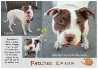 Being Alone, Andrew Bogut, and Benadryl: 3 yrs old  Sometimes  Shy. Always  sweet. Waggy  Playful and  Friendly Girl.  Gives paw, likes  to be close,  enjoys to be  petted and to  be shown love  Waiting on Love @ Brooklyn ACC  Patches ID#43934 . TO BE KILLED - 10/17/2018  Adorable, very sweet, friendly and playful Patches is in need of some TLC. Patches´ skin and fur were not well cared for in her previous home and will need some attention. Despite that the 3 year old girl is all love. She sits on command, gives her paw nicely and takes treats very gently. Patches likes to be close to her caretaker and loves to be petted. - Please share this lovable girl for a good home!  VIDEO: Sometimes Shy, Always Sweet <3 https://youtu.be/MPq6GDdxGLQ Lovels Patches https://www.youtube.com/watch?v=vi--3P4F8Eg  Patches ID# 43934 Brooklyn ACC 3 yrs old White / Brown Spayed Female Medium Mixed Breed Cross Intake Date: 10-09-2018 I came into the shelter as a owner surrender on 09-Oct-2018, with the surrender reason stated as person circumstance- landlord won't allow.  SHELTER ASSESSMENT ~ EXPERIENCED HOME  Behavior History Upon intake Patches was loose body and calm. She sat on command and gave paw. She scanned negative for a microchip and allowed all handling.  Date of Intake: 10/9/2018  Spay/Neuter Status: Spayed  Basic Information:: Patches is a 3 year old altered female medium mix breed. She was given to owner when she was 6 weeks old. She recently have a allergic reaction to flee oil. Owner surrenders due to moving to new place that doesn't allow pets.  Previously lived with:: 2 Adults and 6 children  How is this dog around strangers?: Patches is friendly/ outgoing towards everyone she meets.  How is this dog around children?: Patches lived with children ages 22 months and 20 years old. Owner stated he is relaxed and playful towards all of them.  How is this dog around other dogs?: Patches likes to play with other dogs outdoors however, he was bitten by another dog in 2015. Patc