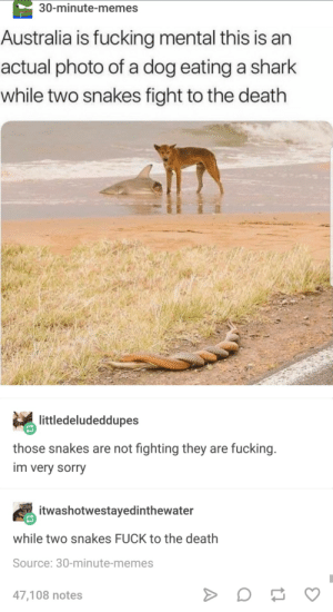Fucking, Memes, and Sorry: 30-minute-memes  Australia is fucking mental this is an  actual photo of a dog eating a shark  while two snakes fight to the death  littledeludeddupes  those snakes are not fighting they are fucking.  im very sorry  itwashotwestayedinthewater  while two snakes FUCK to the death  Source: 30-minute-memes  47,108 notes Australia mate.