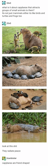 Animals, Shit, and Birds: 33v0  what is it about capybaras that attracts  groups of small animals to them?  Its not just mammals either its like birds and  turtles and frogs too  look at this shit  They radiate peace  lizardsister  capybaras are friend shaped Sometimes things are nice.
