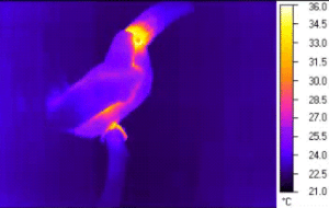 Beautiful, Gif, and Life: 36 34 33 31 30 28 27 25 24 22 21 boopsandswoops: becausebirds:   This GIF shows how the toucan releases heat using its beak to cool itself off. The toucan beak isn't just beautiful, it's also an adjustable thermal radiator that the bird uses to warm and cool itself. When the bird is hot, the blood vessels in their beak open up to allow more circulation to enable heat to escape. Birds can't sweat so evolution has come up with some life hacks to get the job done. [video]   You fool they're charging their laser cannon