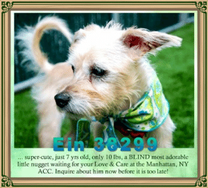 Animals, Cute, and Desperate: 38299  super-cute, just 7 yrs old, only 10 lbs, a BLIND most adorable  little nugget waiting for your Love & Care at the Manhattan, NY  ACC. Inquire about him now before it is too late! **FOSTER or ADOPTER NEEDED ASAP** Ein 38299... super-cute, just 7 yrs old, only 10 lbs, a BLIND most adorable little nugget waiting for your Love & Care at the Manhattan, NY ACC. Inquire about him now before it is too late!  ✔Pledge✔Tag✔Share✔FOSTER✔ADOPT✔Save a life!  Ein 38299 Small Mixed Breed Sex male Age 7 yrs (approx.) - 10 lbs My health has been checked.  My vaccinations are up to date. My worming is up to date.  I have been micro-chipped.   I am waiting for you at the Manhattan, NY ACC. Please, Please, Please, save me!  **************************************** *** TO FOSTER OR ADOPT ***   If you would like to adopt a NYC ACC dog, and can get to the shelter in person to complete the adoption process, you can contact the shelter directly. We have provided the Brooklyn, Staten Island and Manhattan information below. Adoption hours at these facilities is Noon – 8:00 p.m. (6:30 on weekends)  If you CANNOT get to the shelter in person and you want to FOSTER OR ADOPT a NYC ACC Dog, you can PRIVATE MESSAGE our Must Love Dogs - Saving NYC Dogs page for assistance. PLEASE NOTE: You MUST live in NY, NJ, PA, CT, RI, DE, MD, MA, NH, VT, ME or Northern VA. You will need to fill out applications with a New Hope Rescue Partner to foster or adopt a NYC ACC dog. Transport is available if you live within the prescribed range of states.  Shelter contact information: Phone number (212) 788-4000 Email adopt@nycacc.org  Shelter Addresses: Brooklyn Shelter: 2336 Linden Boulevard Brooklyn, NY 11208 Manhattan Shelter: 326 East 110 St. New York, NY 10029 Staten Island Shelter: 3139 Veterans Road West Staten Island, NY 10309 ************************************** ... NOTE:  *** WE HAVE NO OTHER INFORMATION THAN WHAT IS LISTED WITH THIS FLYER *** ... RE: ACC site Just becaus