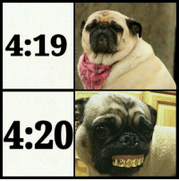 Life, Memes, and 4 20: 4:19  achaos.reigns  4:20% pug life (thx for following @chaos.reigns_)