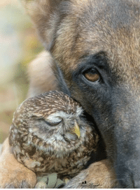 "A doggo will never ever ever eat a birb. In fact, their most common interaction is the doggo tellin birb ""Owl always love you."" (xpost /r/shittyanimalfacts): 4 A doggo will never ever ever eat a birb. In fact, their most common interaction is the doggo tellin birb ""Owl always love you."" (xpost /r/shittyanimalfacts)"