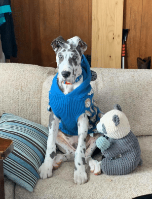 4 month old Great Dane puppy, Angus, in his sweater!: 4 month old Great Dane puppy, Angus, in his sweater!