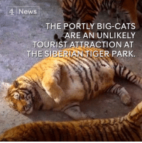 These tubby tigers have become an unlikely tourist attraction in China.: 4 News  THE PORTLY BIG-CATS  ARE AN UNLIKELY  TOURIST ATTRACTION AT  THE SEERIANNGER PARK, These tubby tigers have become an unlikely tourist attraction in China.