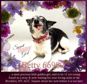 Animals, Desperate, and Dogs: 4  Swoet  Baby  Betty 66900  ... a most precious little golden girl, said to be 12 yrs young,  found as a stray & now waiting for your loving arms at the  Brooklyn, NY ACC. Inquire about her now before it is too late! **FOSTER or ADOPTER NEEDED ASAP** Betty 66909 ... a most precious little golden girl, said to be 12 yrs young, found as a stray & now waiting for your loving arms at the Brooklyn, NY ACC. Inquire about her now before it is too late!  ✔Pledge✔Tag✔Share✔FOSTER✔ADOPT✔Save a life!  Betty 66909 Small Mixed Breed Sex female Age 12 yrs (approx.) - ? lbs  My health has been checked.  My vaccinations are up to date. My worming is up to date.  I have been micro-chipped.   I am waiting for you at the Brooklyn, NY ACC. Please, Please, Please, save me!  Found Location Myrtle And Evergreen  Dekalb Avenue BROOKLYN, 11223 Date Found 6/23/2019  **************************************** *** TO FOSTER OR ADOPT ***   If you would like to adopt a NYC ACC dog, and can get to the shelter in person to complete the adoption process, you can contact the shelter directly. We have provided the Brooklyn, Staten Island and Manhattan information below. Adoption hours at these facilities is Noon – 8:00 p.m. (6:30 on weekends)  If you CANNOT get to the shelter in person and you want to FOSTER OR ADOPT a NYC ACC Dog, you can PRIVATE MESSAGE our Must Love Dogs - Saving NYC Dogs page for assistance. PLEASE NOTE: You MUST live in NY, NJ, PA, CT, RI, DE, MD, MA, NH, VT, ME or Northern VA. You will need to fill out applications with a New Hope Rescue Partner to foster or adopt a NYC ACC dog. Transport is available if you live within the prescribed range of states.  Shelter contact information: Phone number (212) 788-4000 Email adopt@nycacc.org  Shelter Addresses: Brooklyn Shelter: 2336 Linden Boulevard Brooklyn, NY 11208 Manhattan Shelter: 326 East 110 St. New York, NY 10029 Staten Island Shelter: 3139 Veterans Road West Staten Island, NY 10309 **************************************  NOTE:  WE HAVE NO OTHER INFORMATION THAN WHAT IS LISTED WITH THIS FLYER.  ************************************** RE: ACC site Just because a dog is not on the ACC site does NOT necessarily mean safe. There are many reasons for this like a hold or an eval has not been conducted yet or the dog is rescue-only... the list goes on... Please, do share & apply to foster/adopt these pups as well until their thread is updated with their most current status. TY! ****************************************** About Must Love Dogs - Saving NYC Dogs: We are a group of advocates (NOT a shelter NOR a rescue group) dedicated to finding loving homes for NYC dogs in desperate need. ALL the dogs on our site need Rescue, Fosters, or Adopters & that ASAP as they are in NYC high-kill shelters. If you cannot foster or adopt, please share them far & wide. Thank you for caring!! <3 ****************************************** RESCUES: * Indicates New Hope Rescue partner is accepting applications for fosters and/or adopters. http://www.nycacc.org/get-involved/new-hope/nhpartners ****************************************** https://www.nycacc.org/adopt/betty-66909 ++++ http://nycaccpets.shelterbuddy.com/animal/animalDetails.asp?s=adoption&searchTypeId=4&animalType=3%2C16&datelostfoundmonth=6&datelostfoundday=23&datelostfoundyear=2019&tpage=9&find-submitbtn=Find+Animals&pagesize=16&task=view&searchType=4&animalid=100189 ++++ https://nycaccpets.shelterbuddy.com/animal/animalDetails.asp?task=search&advanced=1&rspca_id=66909&animalType=1%2C2%2C15%2C3%2C16%2C15%2C16%2C86%2C79&datelostfoundmonth=5&datelostfoundday=23&datelostfoundyear=2019&find-submitbtn=Find+Animals&tpage=1&searchType=2&animalid=100189 Beamer Maximillian Carolin Hocker Caro Hocker The Mr. Mo Project Michele St Laurent