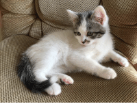Freckle 9 weeks old kitten for adoption: 4444  eeee 44 Freckle 9 weeks old kitten for adoption