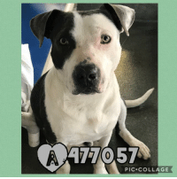 Dogs, Food, and Memes: 477057  PIC.COLLAGE Email Placement@sanantoniopetsalive.org if you are interested in Adopting, Fostering, or Rescuing!  Our shelter is open from 11AM-7PM Mon -Fri, 11AM-5PM Sat and Sun.  Urgent Pets are at Animal Care Services/151 Campus. SAPA! is Only in Bldg 1 GO TO SAPA BLDG 1 & bring the Pet's ID! Address: 4710 Hwy. 151 San Antonio, Texas 78227 (Next Door to the San Antonio Food Bank on 151 Access Road)  **All Safe Dogs can be found in our Safe Album!** ---------------------------------------------------------------------------------------------------------- **SHORT TERM FOSTERS ARE NEEDED TO SAVE LIVES- email placement@sanantoniopetsalive.org if you are interested in being a temporary foster!!**