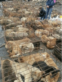 "Animals, Anime, and Bad: I posted this so that everyone could be informed about this horrid case. ""March 2nd, 2013, in Chongqing, China, a truck was found transporting more than 900 dogs, distributing them to restaurants, slaughterhouses. These are family owned lost/stolen pets (some of them still have colors on). This truck was stopped by a group of volunteers and fortunately, the dogs are saved. By the time they were found, most of them are in very bad health conditions and only few of them were fo...und by their owners. Through out the entire day of rescuing, these volunteers did not get any help from the government. This is a wake up call to everyone in China. It is sad and unfortunate that a big country like does not have any laws/regulations on serious matters like this. They are not just animals, they are someone's family member. People who treat them like this should be punished by law. I cried for an hour reading blogs and pictures posted by volunteers. The only thing I can do to help is help spreading around the word so people from all over the world can pay attention to this matter. All the animal lovers out there please help me spread around the word, thank you!"" Michelle Zhu ""I am suffocating just looking at these photos of these poor animals I can't even breathe because of empathy, this is far worse than inhumane. My rage side wants to have authorities arrest these idiots, and feed them to these poor, thirsty, tired, hungry, dogs full of love, sweetness and much deserving of respect, love, and dignity. My loving side knows Humankind can come together with the same Chinese Volunteers who are the pioneers in their country to save man's best friends, felines, monkeys, to other species as we have become so desensitized on how we treat other beings on this earth. Slowly but surely we will help each other evolve from subhumans to consciously loving beings. I believe there are more good-hearted heroes with laser focus and by sharing this compassion, all ignorance can be educated through awareness."" - Anne Pinita Meesriyong~ Like & Share."