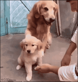 4gifs:Overprotective dog dad. [video]: 4GIEScom 4gifs:Overprotective dog dad. [video]
