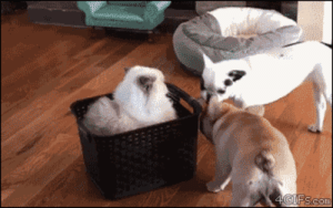 Dogs, Struggle, and Tumblr: 4gifs: Clyde, a Himalayan cat, watches with disdain as dogs struggle to unseat him. [video]