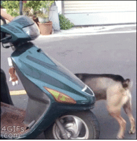 4gifs:  Dog excited about his scooter ride. [video]: 4GIFS  cO 4gifs:  Dog excited about his scooter ride. [video]