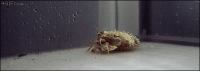 Omg, Target, and Tumblr: 4GIFS.com  s sloppycomms: cobaltdays:  4gifs:  Cuttlefish pretending to be a hermit crab  omg???  radioactive cephalopoda please bite me