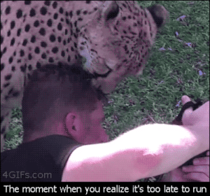 Africa, Animals, and Cats: 4GIFs.com  The moment when you realize it's too late to run feminists-against-feminism: wylltingtrees:  steve-spaghetti:  renirabbit:  pizzalecki:  pkmnbreederbrianna:  togamijail:  chandra75:  im-sherlocked-in-my-mindpalace:  socially-awkward-supervillian:  Fun fact: Cheetahs only attack prey that runs  jesus that is good to know.  Yup, that's the point you just stay still and let it do whatever the fuck it wants that doesn't involved you getting eaten.   REALLY FUN FACT for big cats cheetahs are fucking docile as shit my grandfather ran a cheetah sanctuary in south africa and he'd just lie with them and sleep among them and they'd rub against him and chirp at him they're big fucking babies  Another Fun Fact: Cheetahs are incredibly nervous animals. One of the (many) reason's they're going extinct is that cheetahs are so sensitive and nervous, some of them are literally too nervous to breed. Others will breed, but stress themselves out so much, they'll lose their cubs. So zoos with breeding programs had to figure out how to make cheetahs comfortable enough to first of all, get laid and secondly - not spazz themselves into miscarrying.So what'd they do? They gave the cheetah's their very own Service Dogs!The dogs make them feel safe, protected and secure!  AJHHHHFDDGHH SO PRECIOUS  this post just got so much better  THIS IS OFFICIALLY MY FAVOURITE POST   God makes cheetas, god kills cheetas, god makes man, man makes dogs in order to live, man gives dog to cheeta in order for them to live, god is dog backwards