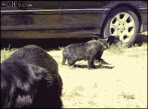 "Animals, Cats, and Chill: 4GIFs.com treatmelikealadyy: daughterofthestars:  impostoralice:  askfordoodles:  smearedlipstick:  ghdos:  illrandomocity:  majin-k:  Did a bunch of dogs breakup a fight between two cats? Am I seeing this right??  Having none of that shit today.  ""Ay man, y'all chill the fuck out. Y'all fucking up the party.""  I CAN'T BELIEVE WHAT I'M SEEING  Pack animals like dogs don't tolerate dissent in their group because it weakens the pack's social structure… There are similar clips on youtube of them breaking up rabbit and rooster fights… They don't care what species you are, they just want you to CUT THAT SHIT OUT.  They don't differentiate species because dogs think everything else is just a weird dog.   ANIMAL BEHAVIOR IS FUN MAN OMG  ""EVERYONE ELSE IS JUST A WEIRD DOG""This is painfully accurate"