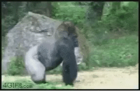 4GIFS com When a little kid falls into your enclosure and you've been watching the news