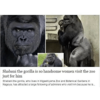 And you can't even get a text back 🐒: Shabani the gorilla is so handsome women visit the zoo  just for him  Shabani the gorilla, who lives in Higashiyama Zoo and Botanical Gardens in  Nagoya, has attracted a large following of admirers who visit him because he is... And you can't even get a text back 🐒