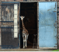 Memes, Getty Images, and Giraffe: 5.0 Mtr  4.5 Mtr  4.0 Mtr  3.5 Mtr  3.0 Mtr  2.75Mtr  2.5 Mtr  2.0 Mtr  1.5 Mtr 19 JAN: At Chester Zoo, Murchison, a baby Rothschild's giraffe, follows his mother from the Giraffe House. Since its birth on Boxing Day, the calf has been reluctant to step outdoors until today. The species is identified by its broader dividing white lines and no spots beneath the knees. Classed as endangered by the International Union for Conservation of Nature, Rothschild's giraffe numbers are dwindling to fewer than 1,600 in its native Kenya and Uganda. PHOTO: Paul Ellis-AFP-Getty Images BBCSnapshot photography nature baby giraffe zoo