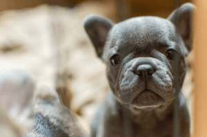 Old, Face, and  Week: 5 week old Frenchie face