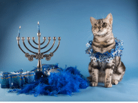 animal-photographies:Marquis. American shorthair cat.Happy Hanukkah!: 50  238959471 animal-photographies:Marquis. American shorthair cat.Happy Hanukkah!