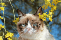 Cats, Grumpy Cat, and Smile: 13 My favorite cat in  the world is Grumpy Cat. smile emoticon