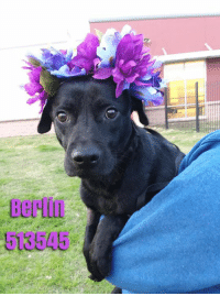 Alive, Dogs, and Family: 513545 Berlin needs a loving home to call her own. She is a sad girl right now who just shivers away. This sweet girl needs a family to snuggle with daily. Will you help turn her sad eyes into happy tail wags? Berlin is around 2 years old, weighs 36 lbs, and is spayed.   **PAST SHELTER DEADLINE! This dog is in the TRANSITION KENNELS and MOST at risk of release when space is needed at 9:30am Mon-Sat, and again at 5pm Mon-Fri & 3pm Sat. The TRANSITION Kennels mean that the dog has been released but has been given more time to find a foster, adopter, or rescue. TRAN DOGS are not safe & urgently need a commitment!  TO ADOPT, FOSTER, OR RESCUE Please Email: placement@sanantoniopetsalive.org   Note: This page is managed by the no-kill organization, San Antonio Pets Alive, to market and help save the lives of the dogs on the euthanasia list at the SA city shelter