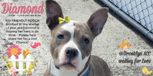 """Beautiful, Bones, and Cats: 57284-rs 6 mon old, 47lbs  """"KID FRIENDLY POOCH  terrified at the shelter  hoping herhero is on.  time - Please help  share her for a 2nd  . Chance!  2oln A  watiting for Dove **** TO BE KILLED - 3/21/2019 ****  Who is the girl with the beautiful face, doe eyes, butterfly ears, and sideways heart marking above her right eye? Diamond is delightful to look at, though these days her big brown eyes are filled with sadness and loneliness. Just over a year old, she belonged to a home with a five year old child which she cherished. Super smart, adept in several commands, crate trained and described by her prior home as friendly and independent. Though she was not introduced to dogs until arriving at the care center, she was tolerant to both dogs. Losing her home wasn't hard enough, now the shelter is faulting her for being frightened. She crouches, her eyes are either forlorn or wide eyed with fear. She is voiceless and at the mercy of a dog lover who can offer her a chance. Clearly her prior home didn't believe in the promise of forever together, or whether she lives or dies. Diamond is a gem, perfectly healthy, very young, and very smart. She needs one chance, and she needs it now as the shelter as marked her for an impending death. Please message this page now if can foster or adopt her.  DIAMOND@BROOKLYN ACC Hello, my name is Diamond My animal id is #57284 I am a female gray dog at the  Brooklyn Animal Care Center The shelter thinks I am about 1 years 6 months old, 47 lbs Came into shelter as owner surrender Mar. 17, 2019 Reason Stated: NO TIME for animal Diamond is rescue only  Diamond was placed at risk due to behavioral concerns observed both at her previous home and in shelter. Diamond's previous owner reports fearful behavior in line with what has been observed in the care center. Diamond has escalated to growling at handlers upon approach as well lip raising; because she has tolerated only minimal handling at this time, we feel Diamond """