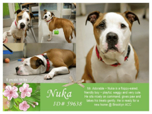 "Being Alone, Apparently, and Bones: 6 yrs old, 64 lbs  Mr. Adorable - Nuka is a floppy-eared,  friendly boy playful, waggy and very cute  He sits nicely on command, gives paw and  takes his treats gently. He is ready for a  new home Brooklyn ACC TO BE KILLED 5/16/19  Meet the Champion of Cat Naps - Nuka AKA Mr. Adorable!  <3 Nuka is a friendly, playful and cute gentleman. Nuka lived in harmony with a another male dog and was playful and respectful around him. Nuka wags his tail the entire time. He will sit on command, gives his paw and takes his treats very gently. Nuka loses his home, due to his family moving to a place where there are no pets allowed. He is hoping to find a new place to call home, a new family to love and to have fun with ~ and to stay a part of forever! Please share sweet Nuka for his happily ever after!   A volunteer writes:  If you're looking for a floppy-eared dog who thinks he's a cat, we have just the guy for you! Come meet Nuka today!  MY VIDEO:  Mr. Adorable <3  https://youtu.be/ZQUOzJ7igNY  NUKA, ID# 59638, 6 yrs old, 64 lbs, Brooklyn Animal Care Center, Medium Mixed Breed Cross, Tan / White Neutered Male,  Owner Surrender Reason: owner moving into a no pet place Shelter Assessment Rating: LEVEL 3 No children (under 13)  Medical Behavior Rating:  OWNER SURRENDER NOTES - BASIC INFORMATION: Nuka is a six year old tan and white medium male dog that was surrendered to the center due to the owner moving into a no pet place. He had him for the past four years. Nuka doesn't have any known health issue and has not been to the vet in the past two years. Nuka previously lived with two adults, two children and one dog. He is friendly and outgoing around strangers. The owner stated that he will bark if a stranger approaches him too quickly. Nuka lived with a six year old child and a seven year old child. He was relaxed, very playful and respectful around them. Nuka also lived with a medium male dog and was very playful and respectful around him. Nuka didn't live with cats. Nuka´s owner did not report resource guarding with toys or food however he will growl and escalate to bite if a food bone is taken away from him. Nuka has no bite history with a person or an animal. He is housetrained and his owner describes his energy level as very high.  Other Notes: He is not bothered when removed from the furniture nor if he is disturbed while resting. He growls when being carried by strangers and when being bathed. He enjoys to be brushed and is not bothered if someone unfamiliar approaches the house. The owner never trimmed his nails therefore his behavior is unknown.  Has this dog ever had any medical issues? No  For a New Family to Know He was described as friendly, affectionate, playful and excitable. His favorite activity is to catch the ball. He likes to follow people around at home or he just stays at his favorite spot. He was kept indoors only and used to sleep with the owner. He was fed dry and wet food twice a day (half a can of wet food and a half a portion of dry) His favotite treats are Milk Bone. He is house-trained and goes potty on grass. He is well-behaved when left alone in the house. Nuka has never been crated. He listens to sit, lay and comes to say bye to you when you say ""bye-bye"" He is used to walks on leash for exercise, three times a day. He pulls hard when on the leash and will wander or run away when off the leash.  INTAKE NOTES – DATE OF INTAKE, 10-Apr-2019: Behavior upon intake: Nuka seemed shy at the beginning however he started to wag his tail after giving him some treats. He was licking the counselor's hand and started to jump to her chest. Nuka started to bark when approached to collar him but allowed it after another attempt. He struggled when trying to put the leash on him but allowed it when he was near the door. He allowed to be collared and scanned. Nuka scanned negative for a microchip.  BEHAVIOR NOTES:  Means of surrender (length of time in previous home): Owner surrender Previously lived with: 2 Adults, 2 Children (6, 7), 1 Dog (Medium, Male) Behavior toward strangers: Friendly and outgoing, but barks if approached rapidly Behavior toward children: Relaxed, playful and respectful (w/resident children) Behavior toward dogs: Playful and respectful (w/resident dog) Behavior toward cats: Unknown Resource guarding: Previous owner reported Nuka to exhibit resource guarding behavior over bones. He will growl and escalate to snapping when his bone is approached. No resource guarding reported over his food or toys. Bite history: None reported Housetrained: Yes Energy level/descriptors: Nuka is described as friendly, affectionate, playful and excitable with a very high level of energy.  SHELTER ASSESSMENT SUMMARIES:  Summary:  Leash Walking Strength and pulling: Mild pulling Reactivity to humans: None Reactivity to dogs: None Leash walking comments:  Sociability Loose in room (15-20 seconds): Soft and loose body, wagging tail, readily accepts treats with soft mouth, stays near handlers, solicits attention, accepts contact Call over: Approaches slowly, ears back and tail wagging, soft and loose Sociability comments:  Handling  Soft handling: Soft, tail wagging, sits down, slow head flips, some lip licking, leans into and accepts all contact Exuberant handling: Soft, tail wagging, remains sitting, some lip licking, leans into and accepts all contact, somewhat distracted by outside noise Handling comments:  Arousal Jog: Follows handler, soft and loose, tail high and wagging Arousal comments:  Knock Knock Comments: Some whining, lip licking and yawned when assistant exits; One low bark with knock; Pulls hard toward door, accepts contact, tail wagging  Toy Toy comments: Grips and relinquishes on first pass; Grips and moves away on second pass  PLAYGROUP NOTES - DOG TO DOG SUMMARIES: According to Nuka's previous owner, He lived with a medium sized male dog. Nuka was very playful and respectful around him.  4/11: When off leash at the Care Center, Nuka is introduced to a novel female dog. He greets the female with a soft body but then becomes sexually motivated. He fixates on her genitals, but is interrupted by handlers and walks away to explore the pens.  INTAKE BEHAVIOR - Date of intake: 10-Apr-2019 Summary: Initially timid, some tail wags and accepts treats, licks and jumps up, barks when approached  MEDICAL BEHAVIOR - Date of initial: 11-Apr-2019 Summary: Loose and wiggly body, wagging tail, growled, whale eye, barked, muzzled  ENERGY LEVEL: Nuka was observed to exhibit a low-medium level of energy during his interactions in the care center.  BEHAVIOR DETERMINATION: Level 3 Behavior Asilomar TM - Treatable-Manageable  Recommendations: No children (under 13)  Recommendations comments: No children (under 13): Although Nuka displays social behavior and accepts contact during his interactions, he was reported by his previous owner to display handling sensitivity and fearful behavior with the potential for defensive aggression, which were also observed during the initial interactions in the care center. Nuka was also reported by his previous owner to exhibit resource guarding behavior, which has not been observed in the care center. As a result, it is recommended that Nuka be placed in an adult only home to ensure his success. We advise safe and appropriate management when handling Nuka, as well as utilizing guidance from a qualified, professional trainer/behaviorist.  Potential challenges:  Resource guarding Handling/touch sensitivity Fearful/potential for defensive aggression  Potential challenges comments:  Resource guarding: Nuka is reported by his previous owner to exhibit resource guarding behavior over his bones in a home environment. He was observed to escalate to growling and snapping if approached. Please refer to the handout on Resource guarding.  Handling/touch sensitivity: Nuka is reported by his previous owner to exhibit handling sensitivity in a home environment. He is reported to growl if carried by strangers or when being bathed. This behavior has been observed when being handled during his medical exam and only escalated to barking. Please refer to the handout on Handling/touch sensitivity.  Fearful/potential for defensive aggression: Nuka is reported by his previous owner to exhibit fearful behavior with potential for defensive aggression. He is reported to bark if approached too quickly by a stranger. Although he has shown improvement, this behavior has been observed during his initial interactions in the care center. Please refer to the handout on Fearful/potential for defensive aggression.  MEDICAL EXAM NOTES  11-Apr-2019  DVM Intake Exam Estimated age: 6 years according to o Microchip noted on Intake? positive 985112004625312 History : o/s Subjective: BARH Observed Behavior - came into the room loose, wiggly, wagging tail. Would intermittently growl. Muzzled for exam. Alternates from loose and wagging tail to growling and hard barking with whale eyes. Evidence of Cruelty seen - no Evidence of Trauma seen - no Objective  P = wnl  R = eupneic  BCS 5/9 EENT: Eyes clear, ears clean, no nasal discharge noted Oral Exam: clean adult dentition, no oral lesions noted, limited oral exam PLN: No enlargements noted H/L: NSR, NMA, CRT < 2, Lungs clear, eupneic ABD: Non painful, no masses palpated U/G: MN MSI: Ambulatory x 4, skin free of parasites, no masses noted, healthy hair coat CNS: mentation appropriate - no signs of neurologic abnormalities Assessment: Apparently healthy Plan: Continue to monitor while at BACC Start trazodone 150mg PO BID for shelter anxiety Prognosis: Excellent SURGERY: neutered   *** TO FOSTER OR ADOPT ***  HOW TO RESERVE A ""TO BE KILLED"" DOG ONLINE (only for those who can get to the shelter IN PERSON to complete the adoption process, and only for the dogs on the list NOT marked New Hope Rescue Only). Follow our Step by Step directions below!   *PLEASE NOTE – YOU MUST USE A PC OR TABLET – PHONE RESERVES WILL NOT WORK! **   STEP 1: CLICK ON THIS RESERVE LINK: https://newhope.shelterbuddy.com/Animal/List  Step 2: Go to the red menu button on the top right corner, click register and fill in your info.   Step 3: Go to your email and verify account  \ Step 4: Go back to the website, click the menu button and view available dogs   Step 5: Scroll to the animal you are interested and click reserve   STEP 6 ( MOST IMPORTANT STEP ): GO TO THE MENU AGAIN AND VIEW YOUR CART. THE ANIMAL SHOULD NOW BE IN YOUR CART!  Step 7: Fill in your credit card info and complete transaction   HOW TO FOSTER OR ADOPT IF YOU *CANNOT* GET TO THE SHELTER IN PERSON, OR IF THE DOG IS NEW HOPE RESCUE ONLY!   You must live within 3 – 4 hours of NY, NJ, PA, CT, RI, DE, MD, MA, NH, VT, ME or Norther VA.   Please PM our page for assistance. You will need to fill out applications with a New Hope Rescue Partner to foster or adopt a dog on the To Be Killed list, including those labelled Rescue Only. Hurry please, time is short, and the Rescues need time to process the applications."