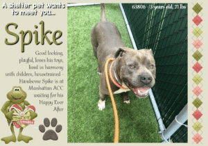 thumb 63806 3hjears pld 71 lbs spike good looking playful loves his 57193745